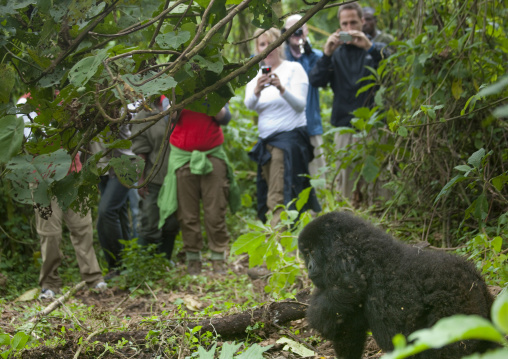 Tourists taking pictures of a gorilla in the jungle of the volcanoes national park, Northwest Province, Rehengeri, Rwanda