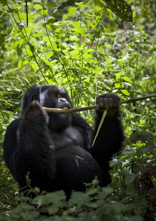 Gorilla eating in the jungle of the volcanoes national park, Northwest Province, Rehengeri, Rwanda