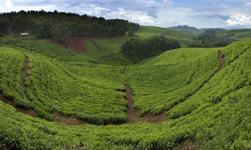 Tea plantation, Western Province, Cyamudongo, Rwanda