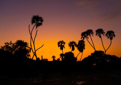 Plam trees in the sunset, Jizan province, Alaydabi, Saudi Arabia
