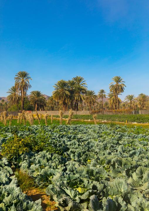 Garden and palm trees, Najran Province, Najran, Saudi Arabia
