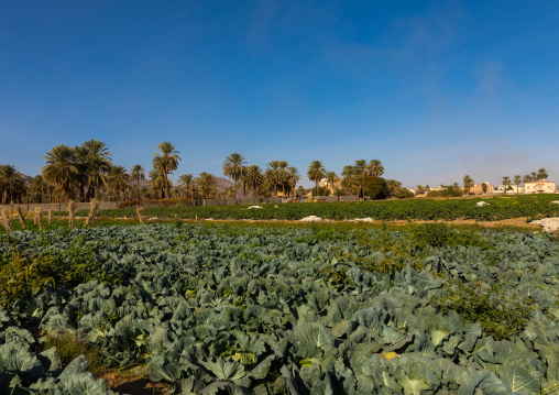 Garden of a farm in the oasis, Najran Province, Najran, Saudi Arabia