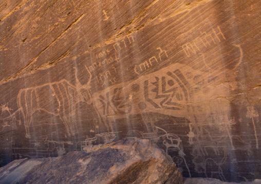 Petroglyphs on a rock depicting cows, Najran Province, Minshaf, Saudi Arabia