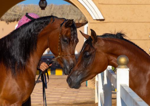 Arabian horses in Alhazm stud, Najran Province, Khubash, Saudi Arabia