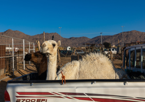 Camel loaded in the back of a Toyota car, Najran Province, Najran, Saudi Arabia