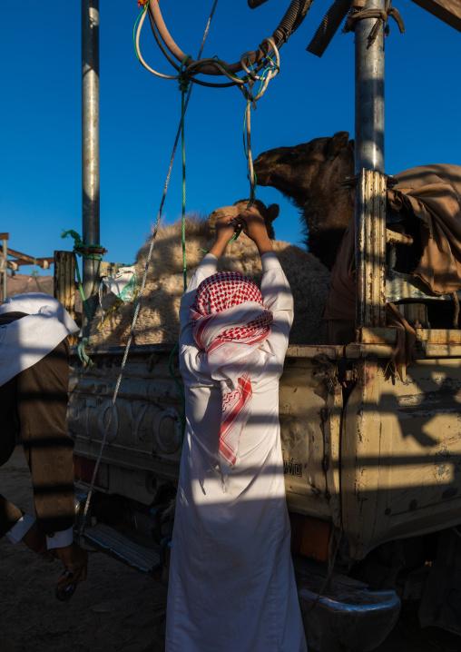 Saudi man loading a camel in a Toyota car in the camel market, Najran Province, Najran, Saudi Arabia