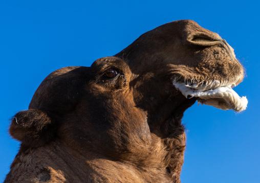 Camel in a rut, Najran Province, Najran, Saudi Arabia