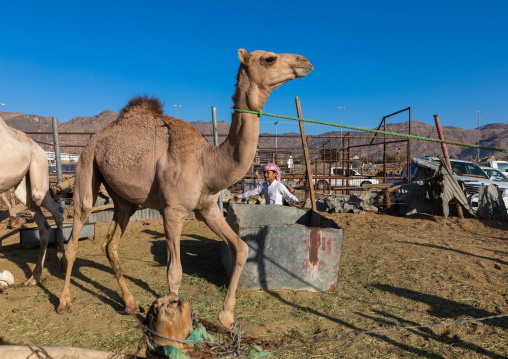 Saudi boy in the camel market, Najran Province, Najran, Saudi Arabia