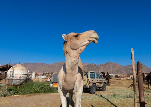 Camel market, Najran Province, Najran, Saudi Arabia
