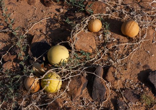Watermelons growing on field, Najran Province, Najran, Saudi Arabia
