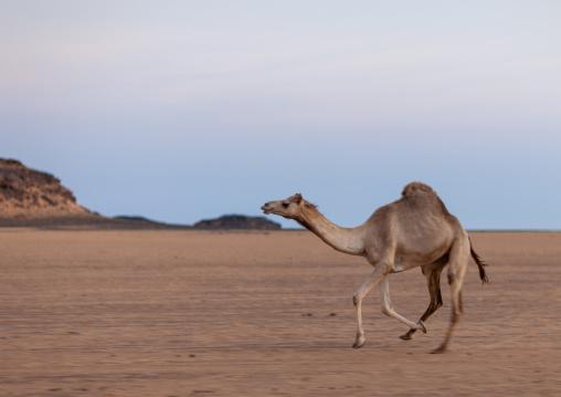 Camel running in the desert, Najran Province, Najran, Saudi Arabia