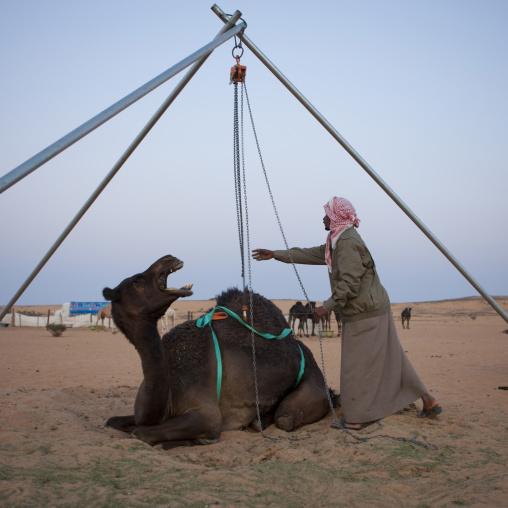 Saudi man loading a camel in a car, Al-Jawf Province, Sakaka, Saudi Arabia