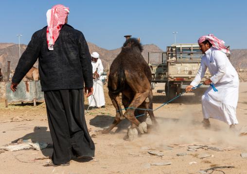Saudi men taking care of an angry camel in a market, Najran Province, Najran, Saudi Arabia