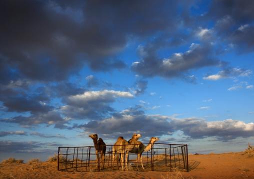 Camels in a farm in the desert, Al-Jawf Province, Al-Nefud, Saudi Arabia