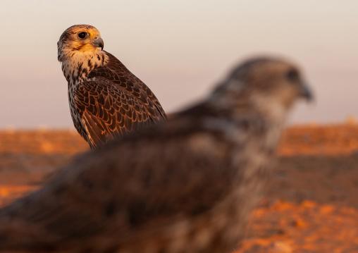 Close-up of falcons, Al-Jawf Province, Sakaka, Saudi Arabia
