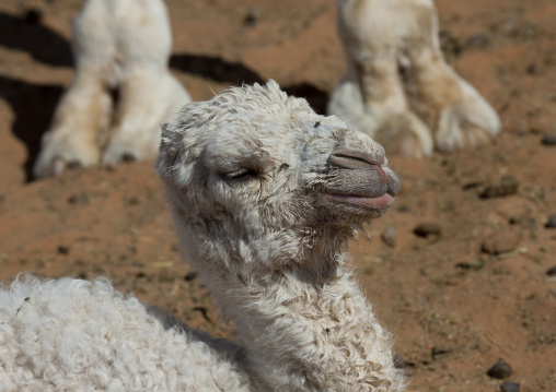 Baby camel, Riyadh Province, Riyadh, Saudi Arabia