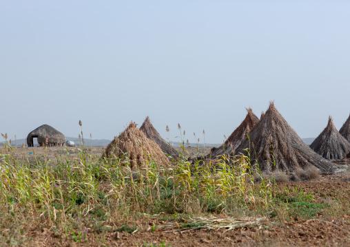 Sorghum harvest on tihama coast, Jizan Region, Jizan, Saudi Arabia
