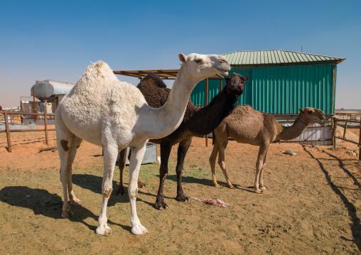 Camel market outside of the city, Riyadh Province, Riyadh, Saudi Arabia