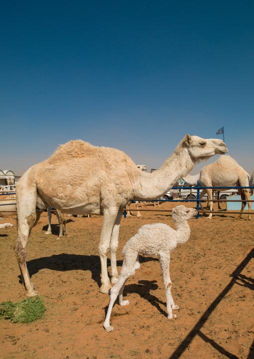 Camel mother and its baby in a market, Riyadh Province, Riyadh, Saudi Arabia