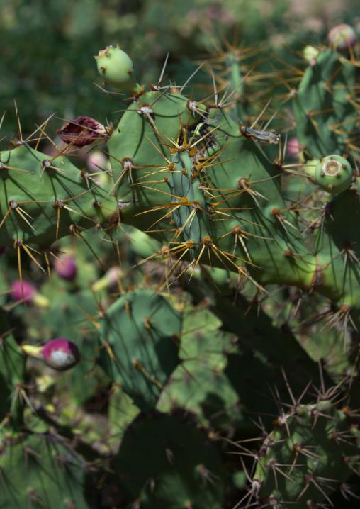Cactus close-up, Woqooyi Galbeed region, Hargeisa, Somaliland