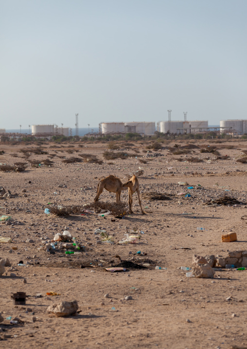 Camels in front of the harbour, North-Western province, Berbera, Somaliland