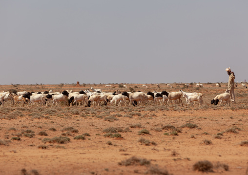 Somali herder with his sheeps in an arid area, Dhagaxbuur region, Degehabur, Somaliland