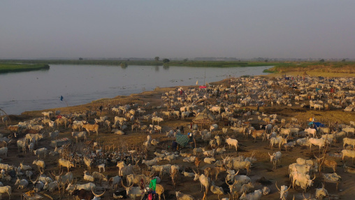 Aerial view of long horns cows in a Mundari tribe cattle camp in front of river Nile, Central Equatoria, Terekeka, South Sudan