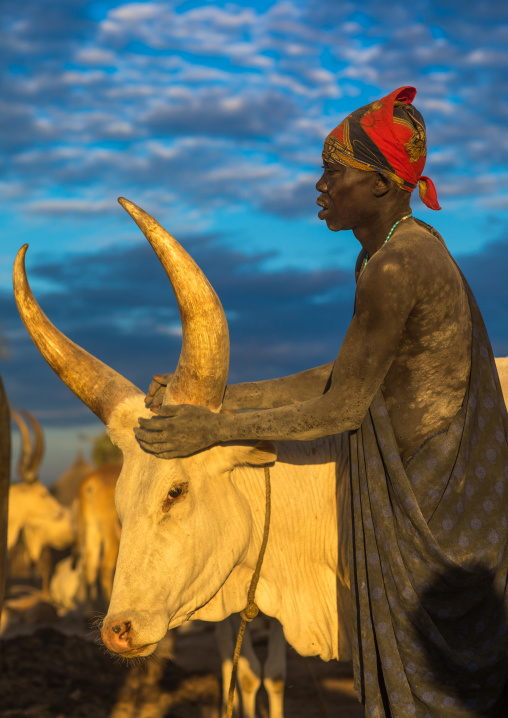 Mundari tribe man covering his cow in ash to repel flies and mosquitoes, Central Equatoria, Terekeka, South Sudan