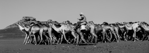Sudan, Northern Province, Dongola, sudanese camels herd going to egypt