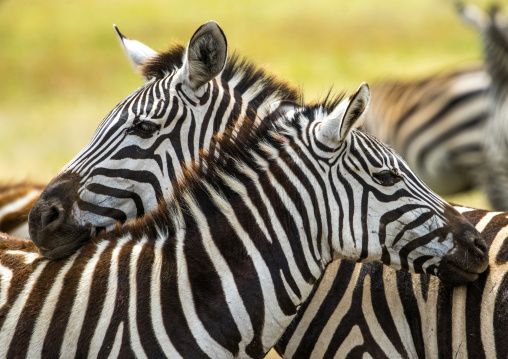 Tanzania, Arusha Region, Ngorongoro Conservation Area, a group of zebras (equus burchellii)
