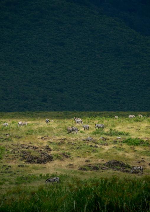 Tanzania, Arusha Region, Ngorongoro Conservation Area, zebras (equus burchellii) inside the crater
