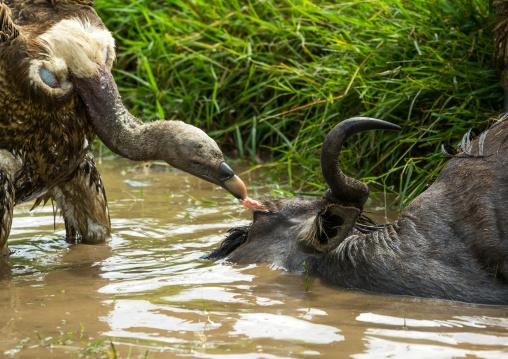 Tanzania, Mara, Serengeti National Park, african white-backed vulture (gyps africanus) feeding on just-killed wildbeest