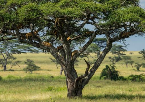 Tanzania, Mara, Serengeti National Park, tree-climbing lions sleeping on branches