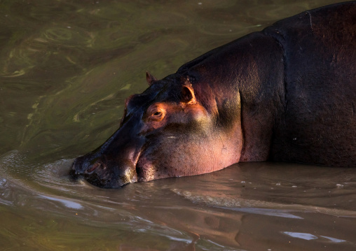 Tanzania, Mara, Serengeti National Park, hippopotamus (hippopotamus amphibius) in a river
