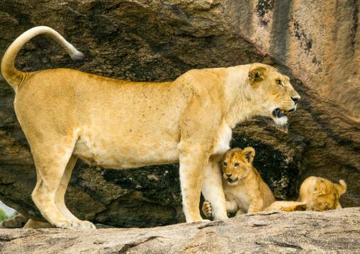 Tanzania, Mara, Serengeti National Park, lioness with her cubs (panthera leo) on a kopje