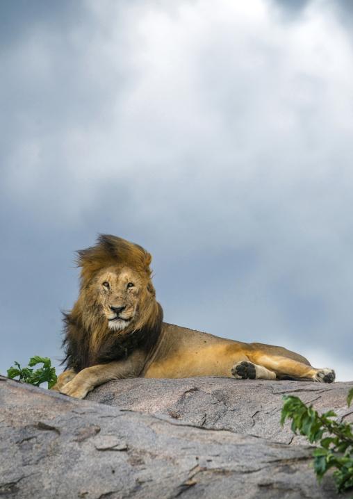 Tanzania, Mara, Serengeti National Park, male african lion (panthera leo) on a kopje