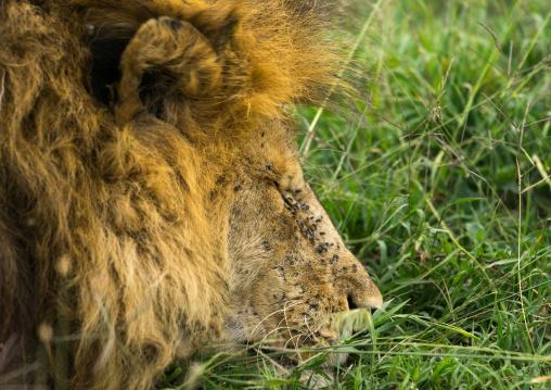 Tanzania, Mara, Serengeti National Park, male african lion (panthera leo) sleeping with flies on the head