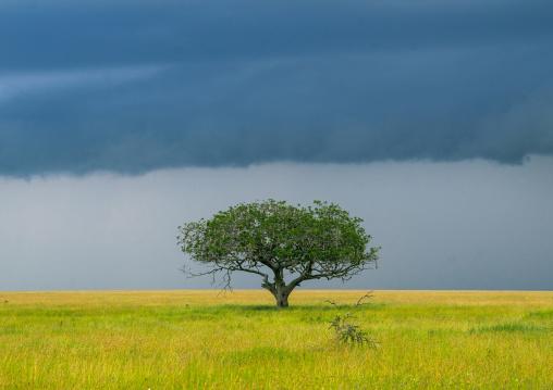 Tanzania, Mara, Serengeti National Park, an acacia tree under a stormy sky