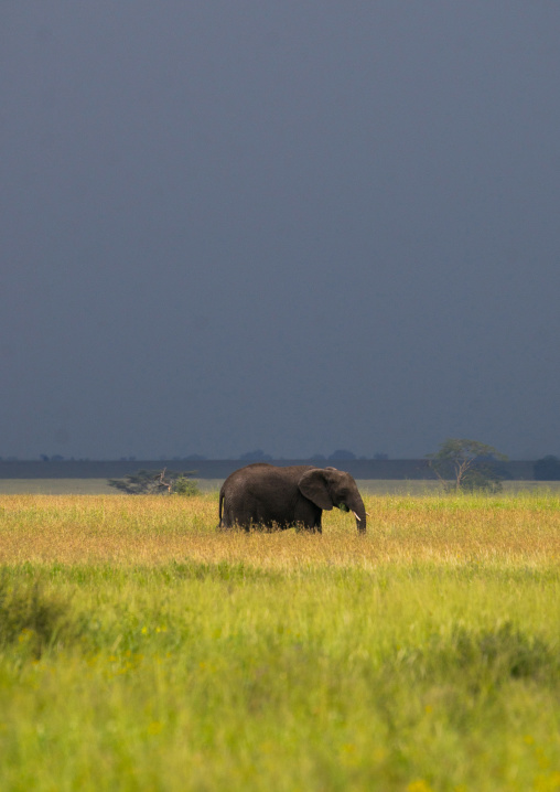 Tanzania, Mara, Serengeti National Park, african elephant (loxodonta africana) under a stormy sky