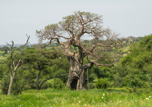 Tanzania, Karatu, Tarangire National Park, large baobab tree (adansonia digitata)