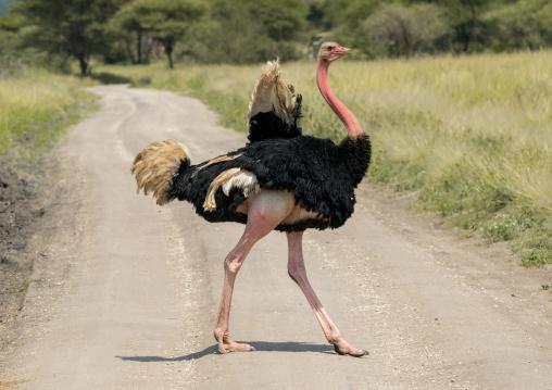 Tanzania, Karatu, Tarangire National Park, male ostrich (struthio camelus)