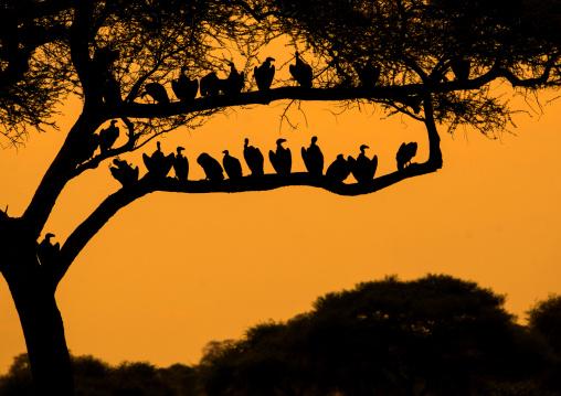 Tanzania, Karatu, Tarangire National Park, group of african white-backed vultures (gyps africanus) sitting in acacia tree