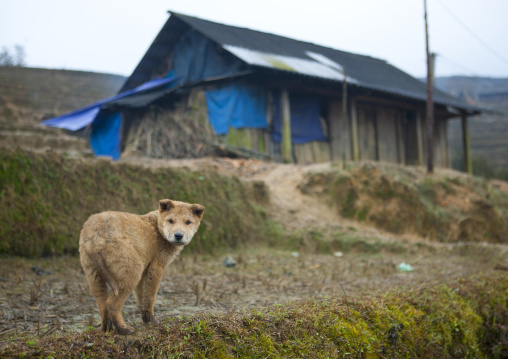 Dog in front of a makeshift shack, Sapa, Vietnam