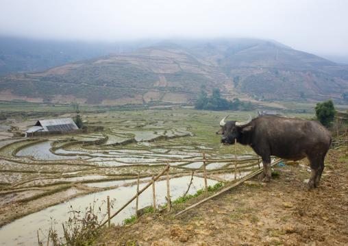 Buffalo in front of terrace paddy fields, Sapa, Vietnam